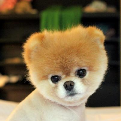 Boo, The Most Famous Dog In the World - TheRichest